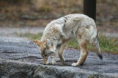 Coyote. Walking on the parking lot, Yellowstone NP Royalty Free Stock Image