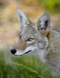Coyote Photos libres de droits