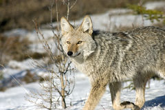 Coyote. Coyote feeding on an elk that was killed by wolves over night Royalty Free Stock Photo
