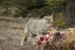 Coyote. Coyote feeding on an elk that was killed by wolves over night Royalty Free Stock Photos