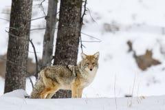 coyote Imagen de archivo libre de regalías