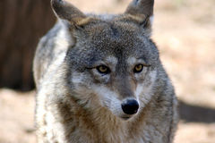 Coyote 5 Royalty Free Stock Photos