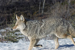 Coyote. On the hunt in Jasper National Park Stock Photography