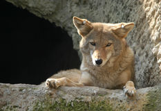 Coyote photo libre de droits