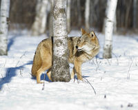 Coyote. Photographed in Northern Minnesota woods in winter Royalty Free Stock Photo