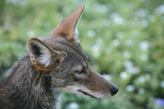 Coyote Images stock