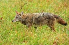 coyote Immagine Stock