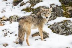 coyote royalty-vrije stock foto