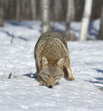 Coyote. Staring at photographer. Northern Minnesota Stock Images