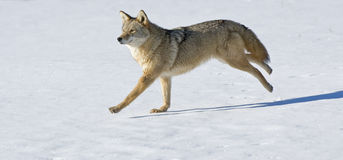 Coyote. Running across snow covered field Stock Photo