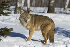 Coyote. In winter. Northern Minnesota Stock Photography