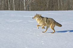 Coyote. Runningacross snow cover field. Northern Minnesota Royalty Free Stock Photo