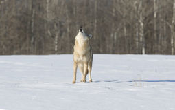 Coyote. Howling on snow covered field Royalty Free Stock Image