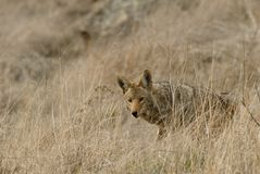 Coyote. Hunting in the prairie grass of southern California Stock Images