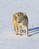 Coyote. On snow covered field in Northern Minnesota Stock Photos