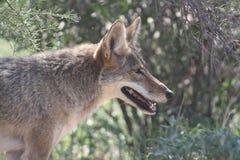 coyote Fotos de archivo libres de regalías