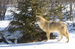 Coyote. On snow covered field in Northern Minnesota Stock Photography