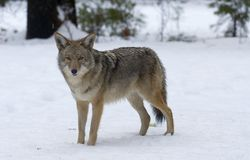 Coyote 8. Coyote on overcast day in watching from a snowy meadow royalty free stock images
