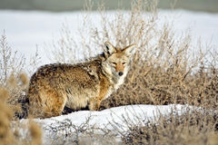 Coyote Stock Photos