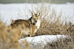 Coyote Imágenes de archivo libres de regalías