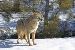 Coyote. In his winter coat. Northern Minneaota Stock Photography