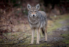 Free Coyote Stock Photography - 93071442