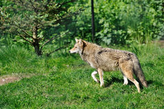 Coyote Imagen de archivo