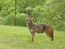 Coyote. (canis latrans) standing in the grass Stock Photos
