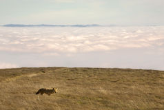 Coyote above the clouds Stock Photography