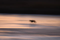 Coyote Abstract Royalty Free Stock Photos