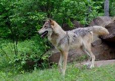 Coyote adulto che sta su una roccia Fotografie Stock