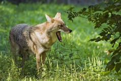 Coyote affichant des dents Photo libre de droits
