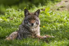Coyote. Alpha male in spring Stock Photos
