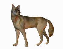 Coyote américain Images libres de droits