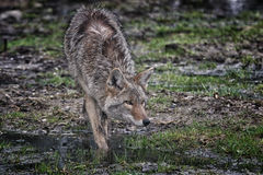 Coyote approaching Stock Images