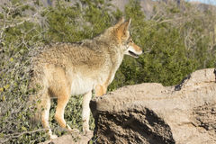 Coyote in Arizona on lookout Royalty Free Stock Image