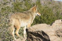 Coyote in Arizona sull'allerta Immagine Stock Libera da Diritti