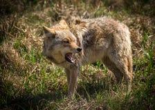 Coyote arrabbiato con la bocca aperta fotografie stock libere da diritti
