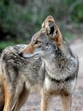 Coyote attentif Images stock