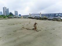 Coyote on beach-2 Stock Photo