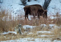 Coyote and Bison Royalty Free Stock Photos