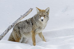 Coyote and a branch. Coyote in the snow, Yellowstone National Park Stock Images