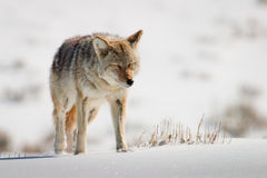 Coyote in Bright Snow Stock Photography