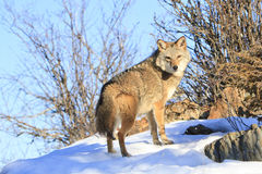 Coyote broadside Royalty Free Stock Photos
