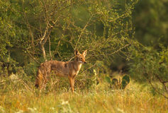 Coyote in Brush Stock Images