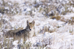 Coyote in the brush. Coyote looking around for food at yellowstone Stock Image