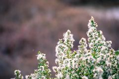 Coyote brush Baccharis pilularis flowers and seeds. San Francisco bay area, California royalty free stock image