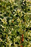 Coyote brush, Chaparral broom, Baccharis pilularis subsp. consanguinea, female bush Stock Photography