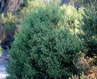 Coyote brush, Chaparral broom, Baccharis pilularis subsp. consanguinea, male bush Royalty Free Stock Photos