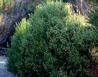 Coyote brush, Chaparral broom, Baccharis pilularis subsp. consanguinea, male bush Royalty Free Stock Image